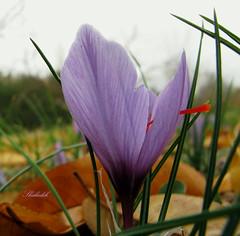 crocus (shadijan) Tags: flowers nature crocus