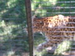 20150919_114023 (mjfmjfmjf) Tags: oregon zoo 2015 greatcatsworldpark