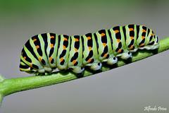 Papilio machaon (bruco) (alfvet) Tags: macro nature nikon ngc butterflies natura caterpillar insetti bruco farfalle sigma150 d5200 macroelitecontestwinner