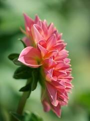 Coussin de pétales ** (Titole) Tags: pink dahlia green leaves petals unanimouswinner friendlychallenges thechallengefactory titole nicolefaton