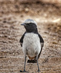 : #   :  #PiedWheatear   :  #oenanthe #pleschanka    #  #_ # # # #birds  # # # # # #_ ## ### # (photography AbdullahAlSaeed) Tags: bird birds sony oenanthe    piedwheatear   pleschanka     sonyalpha