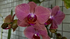 Pintadinha 03 (Parchen) Tags: flores flor rosa phalaenopsis ornamental orqudeas pintada vaso cacho orqudea varanda hbrida pintadinha parchen carlosparchen phalaenopsishbridarosa phalaenopsisrosapintada