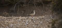 Anthus bertheloti, o Bisbita caminero (paco zerpa) Tags: pajaros lagraciosa ornitologa