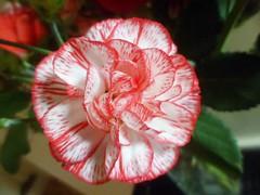 FB_IMG_1445159245761 (Nicolaspeakssometimes) Tags: flower