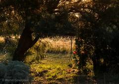 DSCF1745 (wallygawr) Tags: trees sunset green weeds flora warm sundown warmth backlit bottlebrush secretgarden backlighting lateafternoon weedgrass