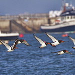 Oystercatchers in the Harbour