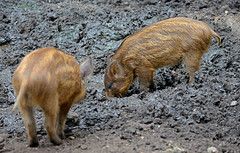 Boar-lets (Wildlife Online) Tags: baby animal mammal pig piglet boar newforest sus britishwildlife wildpig wildboar susscrofa ukwildlife boarlet babywildboar newforestwildlifepark marcbaldwin wildlifeonline captivewildboar hampshirewildboar