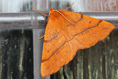 Brown Moth (andysimspon) Tags: macro moth brownmoth dirtywindow canon60mmmacrolens canoneos550d asimages