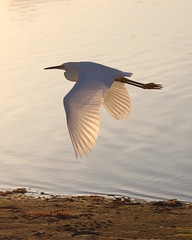 Great egret (Victoria Morrow) Tags: droh dailyrayofhope