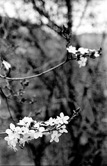 Spring (rodrigo.blackburn) Tags: blackandwhite flower tree spring spain bokeh burgos castillayleón fujiacross100 olympusom2n d7611 nikoncoolscaniv zuiko50mm18