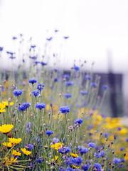 Cornflowers (Kaisea) Tags: flowers flora melbourne cornflowers comohouse karenevephotography