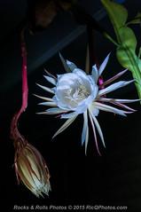 HZP_0790 (Ric Quintanilla) Tags: cereus nightblooming
