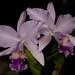 C. Portia v. coerulea x Lc. Love Knot 'Blue Star' – Alex Nadzan