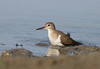 Common sandpiper (tareq uddin ahmed) Tags: bird birds sandpiper common ahmed bangladesh chittagong uddin tareq actitis hypoleucos canon70d