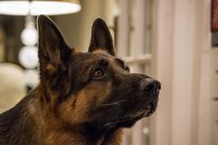 Dog Sous Chef (FurtiveOutsider) Tags: dog pet dogs friend shepherd best german chef alsatian alsation helper sous gsd videx