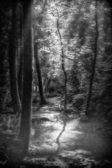 Forest Light (Repp1) Tags: bw canada fog forest bc nb surrey fort brume greentimbersforest filteredlight bruillard lumirefiltre