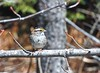 White-throated Sparrow (Leonel Richard) Tags: whitethroated sparrow bird perched