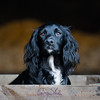 Dog Photography by Gerry Slade- (Photography By Gerry Slade) Tags: equinephotography gerryslade horsephotographer dogphotographer yorkshire cockerspaniel fieldsports nikon d700 70200 f28