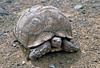 Leopardenschildkröte (astroaxel) Tags: südafrika western cape westerncape grose karoo leopardenschildkröte schildkröte