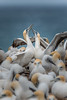 A Lovers Greeting DSC_6527 (BlueberryAsh) Tags: gannets portland bird dangerisland australasiangannetbird birdbehaviour ocean seas birdlife tamron150600