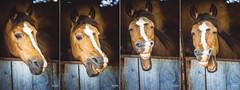 estupido y sensual caballo (sky ross) Tags: horse caballo humor look eye animal life