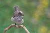 Fio-fio - White-crested Elaenia (Elaenia albiceps) (Claudio González R.) Tags: fiofio elaenia ave pajaro percha bird birding birdwaching pajareo nikon d610 500mm tc 700mm hide whitecrested rn mendoza villavicencio
