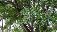 Aglaia-latifolia_FosterBG-Honolulu_Cutler_20170105_152444 (wlcutler) Tags: oahu hawaii honolulu fosterbotanicalgarden aglaia aglaialatifolia meliaceae