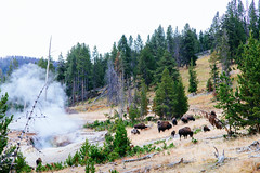 Yellowstone 15 ([Katsumi]) Tags: vscofilm04 yellowstone canon6d canon24105mmf4l outdoors exploring explore travel wyoming wildlife animal mammal bison buffalo geyser forest trees woods