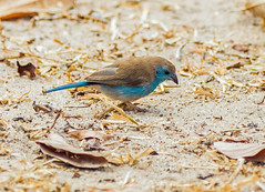 southern cordon blue - selous GR, tanzania (Russell Scott Images) Tags: selousgamereserve tanzania africa bird southerncordonbleu uraeginthusangolensis bluewaxbill southernbluewaxbill bluebreastedwaxbill bluecheekedcordonbleu bluebreastedcordonbleu african russellscottimages