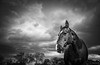 Keeper Comes Closer (Jen MacNeill) Tags: horse horses equine bw blackandwhite tennesseewalkinghorse twh storm stormy clouds drama dramatic