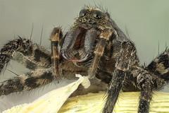 Pardosa sp. Lycosidae (dorolpi) Tags: