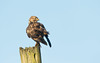 Sentinel. (Andrew Haynes Wildlife Images) Tags: buzzard