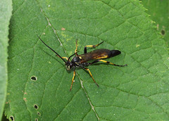 Ichneumon (Amblyteles armatorius)? (SteveInLeighton's Photos) Tags: england july 2016 bedfordshire beds hymenoptera leightonbuzzard insects wasp ichneumon