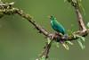 Growing pains (Khurram Khan...) Tags: greenhoneycreeper tanager costarica wildlife wildlifephotography wild wwwkhurramkhanphotocom khurramkhan nikon nikkor naturephotography newjersey