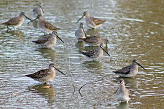 Long-billed Dowitchers 16-1030-7953 (digitalmarbles) Tags: longbilleddowitcher longbilled dowitcher shorebird nonbreeding limnodromusscolopaceus sandpiper sandpipers bind contradiction fling hill timestep water ripples nature wildlife animal bird birds birder birdphoto photography birdphotography wildlifephotography reifel sanctuary reifelsanctuary deltabc bc lowermainland britishcolumbia canada nikond300 nikon