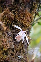 Pleione humilis (Sm.) D.Don (Himalayan Biodiversity and Landscape) Tags: flower orchid pleione humilis orchidaceae nepal panchase himalaya kaski