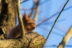 red squirrel (ben cairns) Tags: redsquirrel isleofwight nikond5200 alverstonemeadhide nikkor55300 blue orange red squint tufts ears branch tree fur bright sunny sunshine