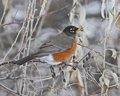 American Robin (male) (Keith Carlson) Tags: americanrobin turdusmigratorius thrushes