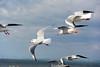 DSC_6822.jpg (kTomoyuki) Tags: 鷗 鴎 seagull カモメ かもめ 熊本市 熊本県 日本 jp