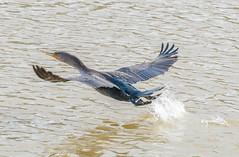 AF-C,works for me. (Omygodtom) Tags: outdoors bokeh bird usgs urbunnature composition cormorant macromonday nature nikkor nikon splash nikon70300mmvrlens d7100 dof afc wildlife wild flickr