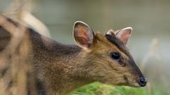 Muntjac running past (pstani) Tags: england lackford lackfordlakes suffolk uk animal barkingdeer deer muntjac