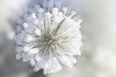 boom (rockinmonique) Tags: macro winter snow frost hoarfrost white ethereal cold bokeh moniquew canon canont6s tamron copyright2017moniquew pine connifer needles