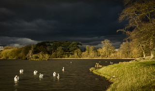 Swans in the Storm