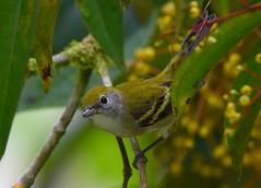 Chestnut-sided Warbler - female (anacm.silva) Tags: chestnutsidedwarbler warbler ave bird wild wildlife nature natureza naturaleza birds aves sarapiqui laselva costarica centralamerica setophagapensylvanica