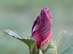 365-53 [Explored] (Letua) Tags: flor pimpollo rosa verde dof naturaleza flora flower bud pink green