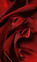 velvet (brescia, italy) (bloodybee) Tags: 365project rose flower petals nature vegetal red stilllife macro