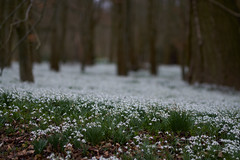 Garden Carpet (paulinuk99999 - tripods are for wimps :)) Tags: paulinuk99999 welford park snowdrops zeiss sal135f18za dof