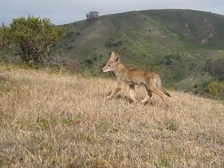 juvie coyote