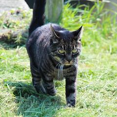 Cat approaching (ragingr2) Tags: amsterdam animal cat housecat durgerdam noordholland waterland ransdorp landelijknoord huiskat