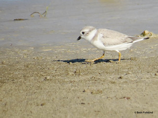 Piping Plover, Immature